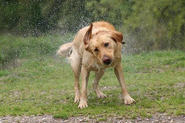 Labrador schüttelt sich