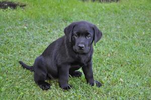 Schwarzer Labrador Welpe im Gras