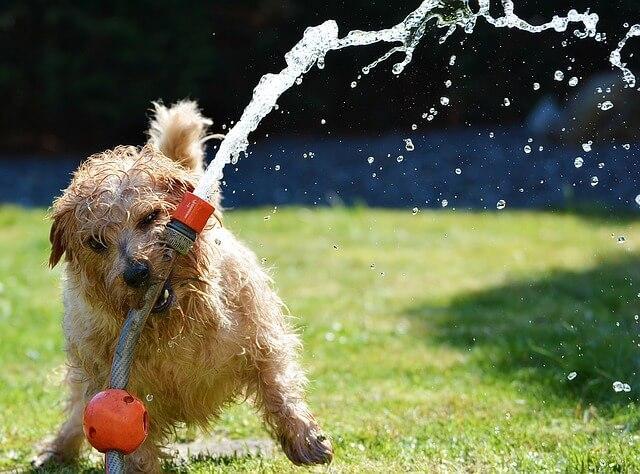 Norfolk Terrier spielt mit Wasserschlauch