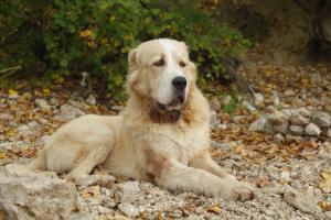 Owtscharka/Kaukasischer Schäferhund