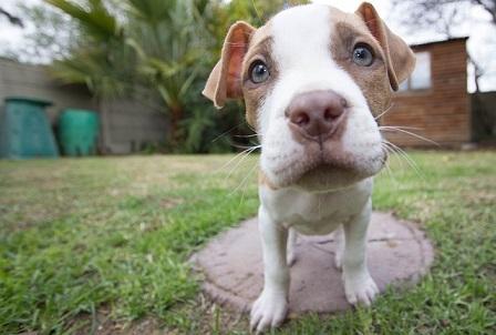 American Pitbull Terrier Welpe mit blauen Augen