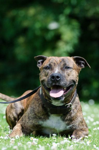 American Pitbull Terrier mit Sprenkeln im Fell