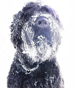 Schwarzer Terrier.