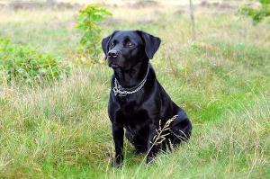 Schwarzer Labrador im Gras