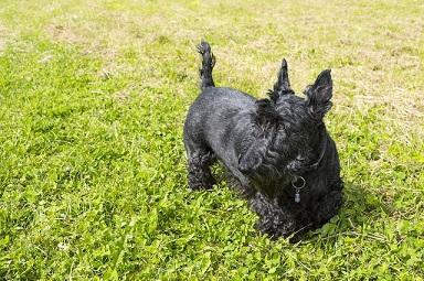 Bild Scottish Terrier