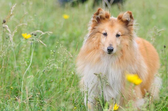 Bild Shetland Sheepdog