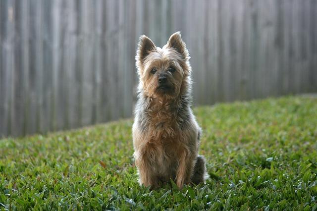Bild Australian Silky Terrier