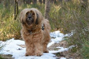 Goldener Tibet Terrier