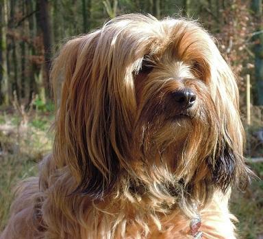 Bild Tibet Terrier