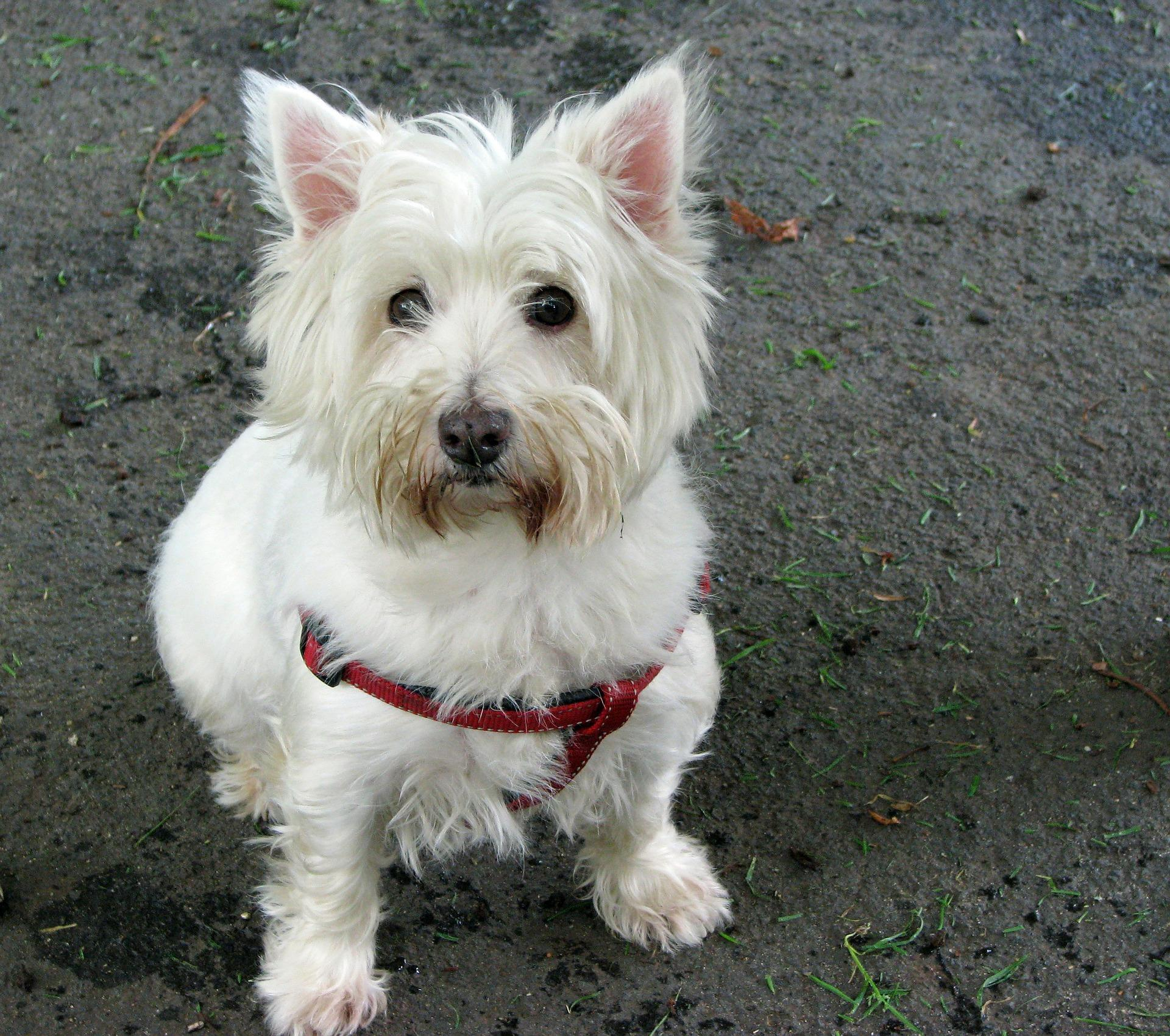 West Highland Terrier / Westie