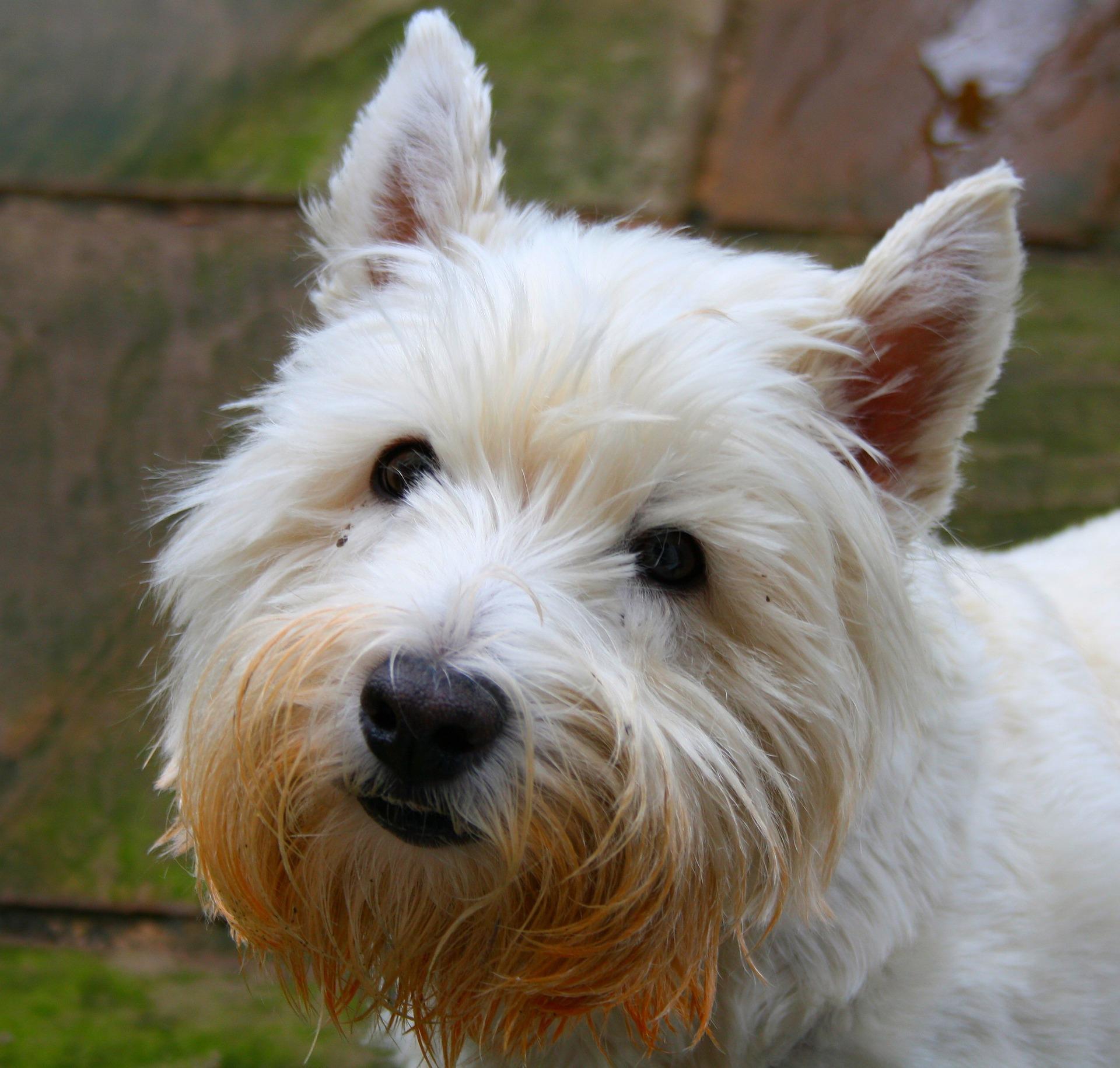 Bild West Highland Terrier