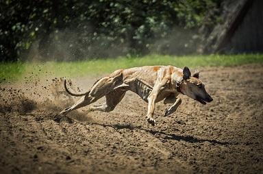Bild rennender Windhund