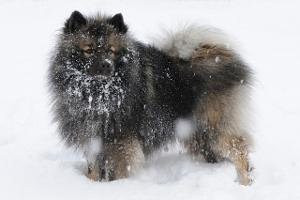 Bild Wolfsspitz