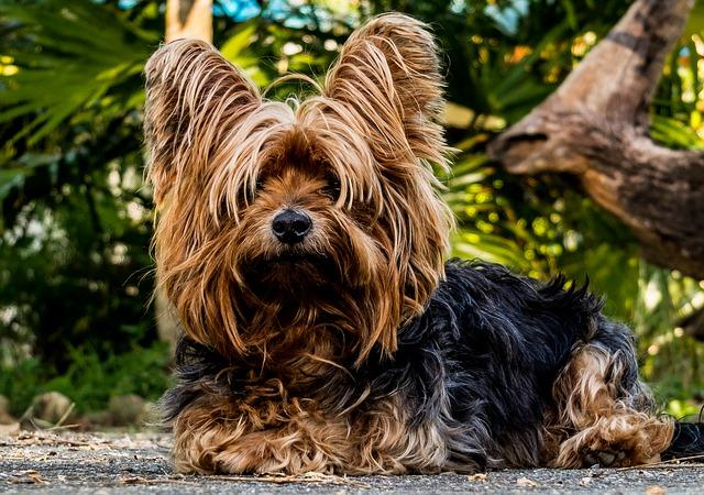 Bild Yorkshire Terrier