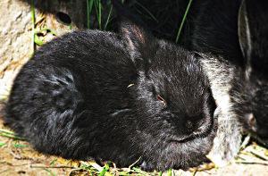 Bild liegendes Alaska Kaninchen