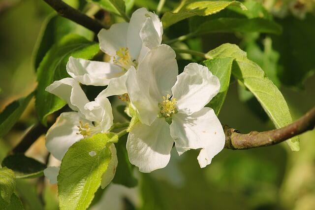 Zweig eines Apfelbaumes