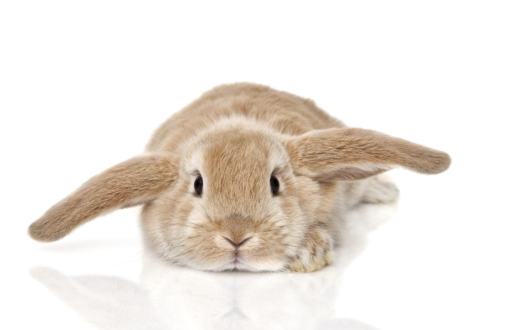 Bild liegendes Kaninchen