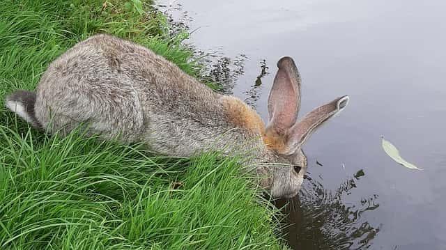 Kaninchen am Wasser