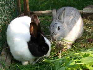Kaninchen im Freigehege beim Fressen