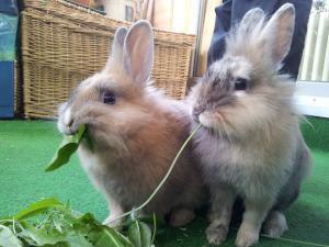 Kaninchen Grünfutter