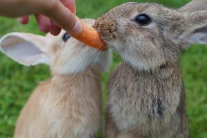 Kaninchenfütterung mit Karotten