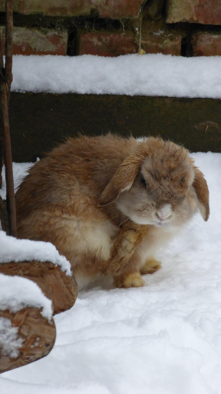 Bild Kaninchen draußen im Schnee