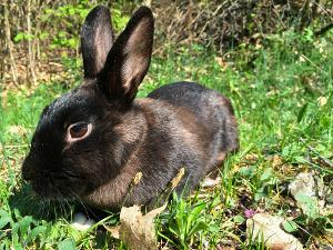 Bild Thüringer Kaninchen im Gras