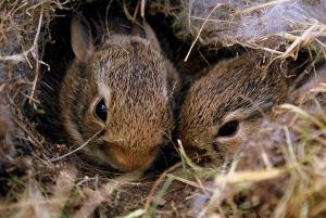 Bild Kaninchenzucht Jungtiere