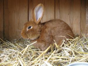 Neuseeländer Kaninchen in Stall