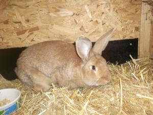 Rotes Neuseeländer Kaninchen