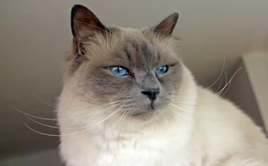Birma Katze Blaue Augen