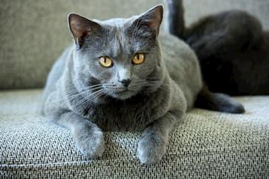 Kartäuser Katze auf dem Sofa