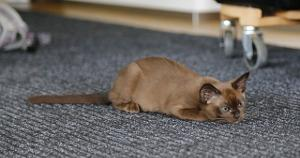 Bild braune Katze kauert am Boden