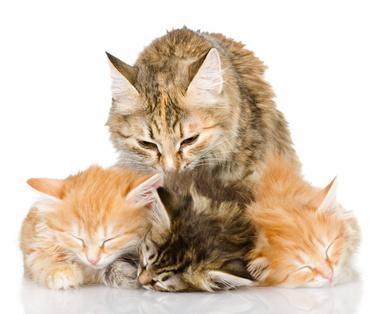 Katze mit Katzenbabys