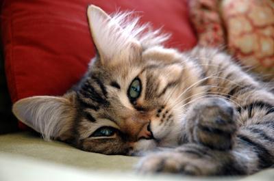 Katze liegt auf Kissen
