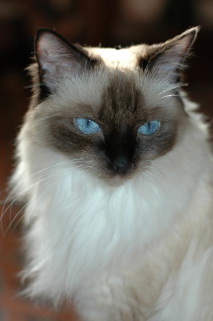 Bild Ragdoll mit blauen Augen