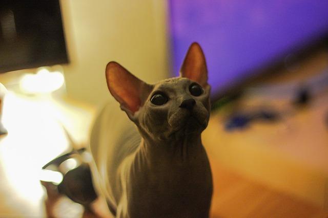 Bild Sphynx Kitten