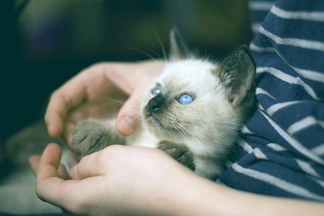 Baby Thaikatze Kitten