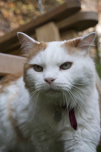 Bild Türkische Van Katze