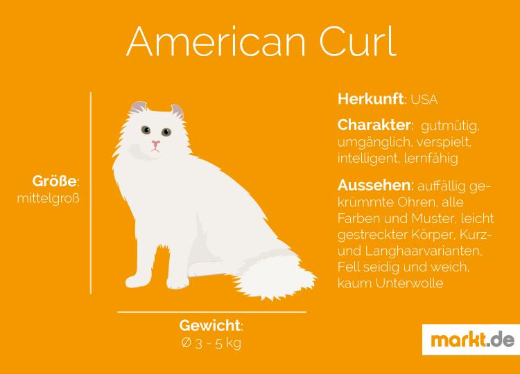 Bild American Curl