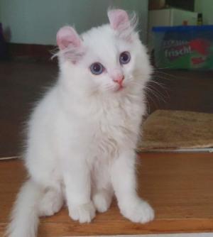American Curl Kitten weiß