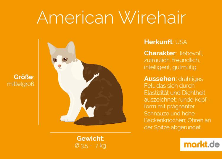 Grafik Rasseportrait American Wirehair