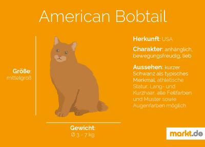 Grafik Rasseportrait American Bobtail