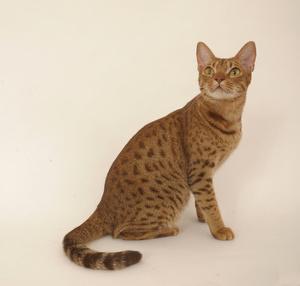 Bild Arabische Mau rote Katze