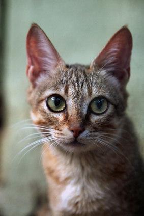 Bild Arabische Mau getigerte Katze Nahaufnahme