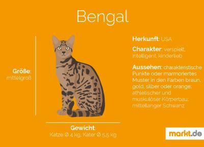 Bengalkatze Rasseportrait