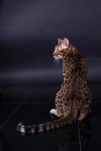 Bild Bengalkatze