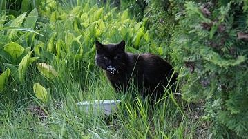 Bombaykatze im Gras