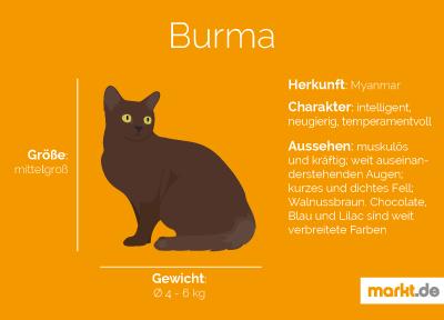 Rasseportrait Burma Katze