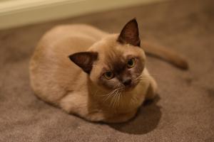 Burma Katze Charakter Haltung Pflege Herkunft Markt De
